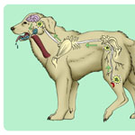 Part of a rabies awareness presentation for an animal control facility showing how the rabies virus travels from the infected injury through the nerves and to the brain, where it then paralyzes the throat to create the foaming appearance.
